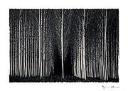 Poplar trees #1