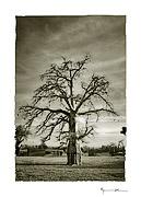 Baobab, Mali #21