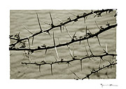 Acacia thorns, Mali #27