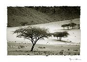 Acacias, Mauritania #5