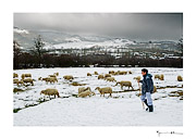 Shepherd, Barroso #20
